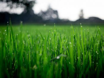 low down view of wet grass in a garden